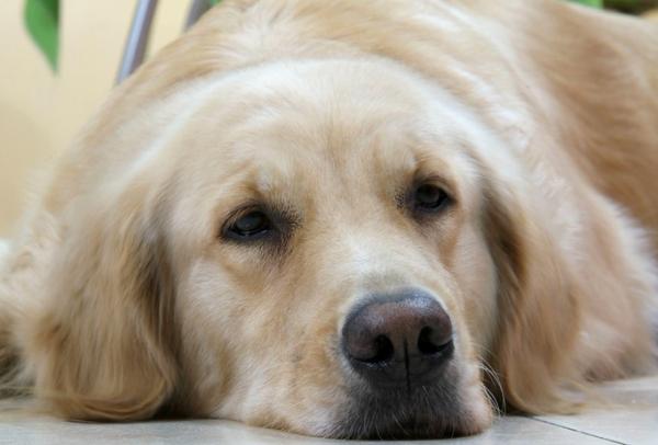 小狗总是流眼泪怎么回事